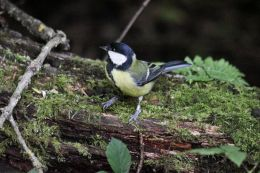 Great Tit ( Parus major )