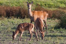 Red Hind with calves