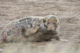Female Grey Seal ( Halichoerus grypus )