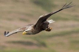 White Tailed Sea Eagle ( Haliaetus albiculla )