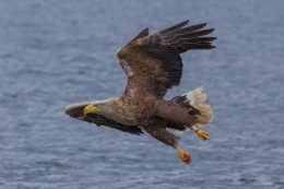 White Tailed Sea Eagle (Halliaetus albiculla)