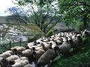 Road full of...sheep!