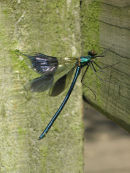 Banded demoiselle (with damaged wing)