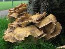 Giant Polypore fungi