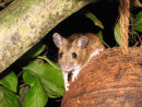 Wood mouse on coconut feeder