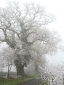 Oak tree covered in hoar Frost