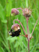 Bee and Water Avens