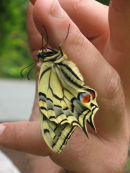 Swallowtail in the hand