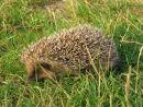 Hedgehog at Whitlingham