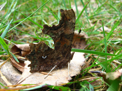 Comma butterfly on leaf