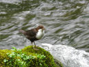 Dipper by the River Dove