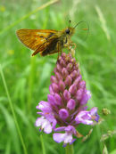 Skipper butterfly & Pyramidal orchid