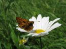 Skipper on Ox eye daisy