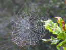 Spiders web covered in dew