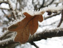 Oak leaf and hoar frost