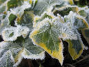 Frosty ivy leaves