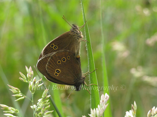 Ringlet butterflies mating