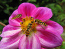 Hoverflies attracted to Dahlia