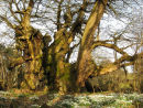 The Oldest Sweet Chestnut
