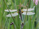 Four Spot Chaser covered in dew