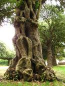 Evergreen Oak tree