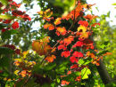 Guelder-rose leaves
