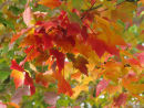 Acer Crimson Glory leaves