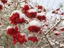 Guelder-rose berries & snow