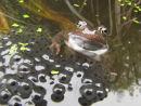 Wonky frog on spawn