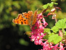Comma butterfly, Ribes flowers