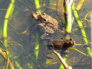 Toads and spawn
