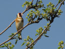Goldfinch & spring leaves on Rowan tree