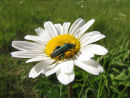 Click beetle on ox eye daisy
