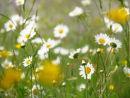Ox eye daisies & buttercups