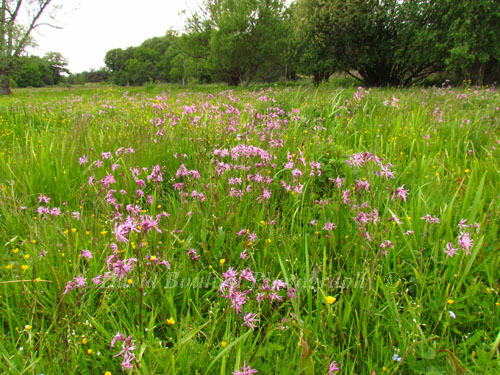 Meadow full of Ragged Robin