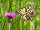 Swallowtail butterfly on knapweed