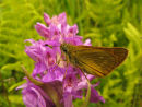 Large Skipper and Marsh orchid