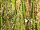 Dragonfly hiding in the fen meadow