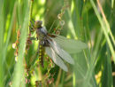 Broad Bodied Chaser covered in dew