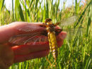 Broad Bodied Chaser in the hand