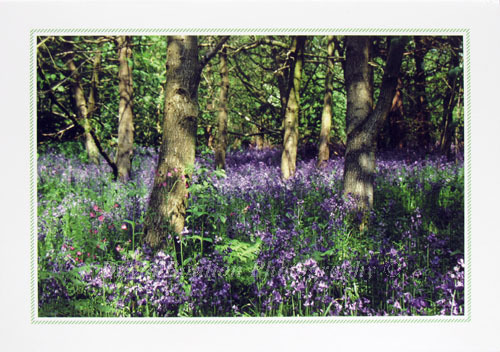 Bluebells, Strumpshaw, Norfolk