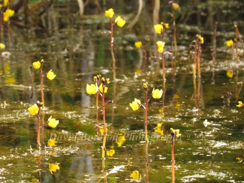 Greater Bladderwort