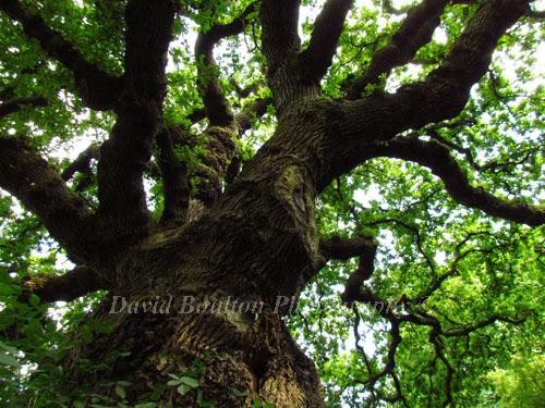 Veteran Oak Tree