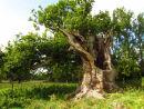 Old Oak