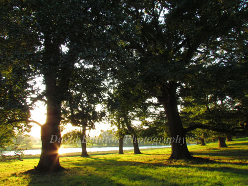 Oak trees backlit