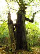 Hollow Field Maple