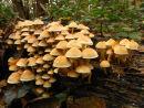 Sulphur or Brick tuft fungi