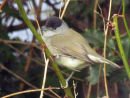 Blackcap in garden