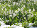 Snowdrops amongst the snow
