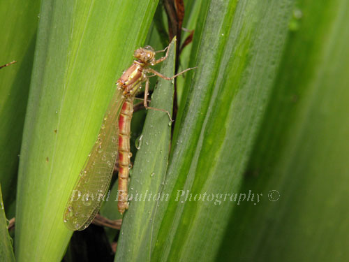 Emergent Large Red Damselfly & rain droplets